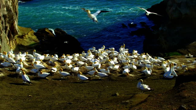 Gannet Colony video