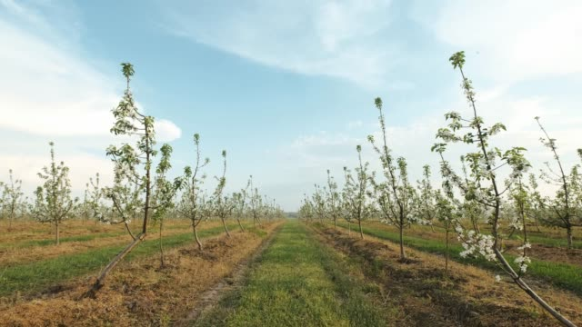 garden of blooming fruit trees. - albicocco video stock e b–roll