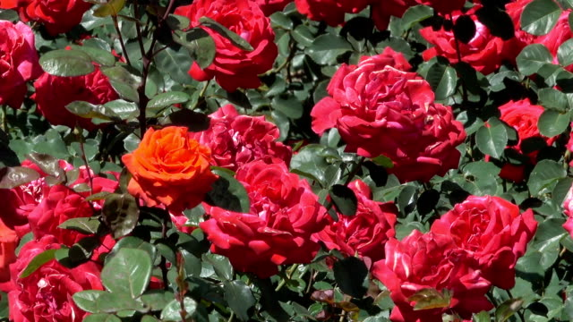 庭の赤いバラが咲く - 花壇点の映像素材/bロール