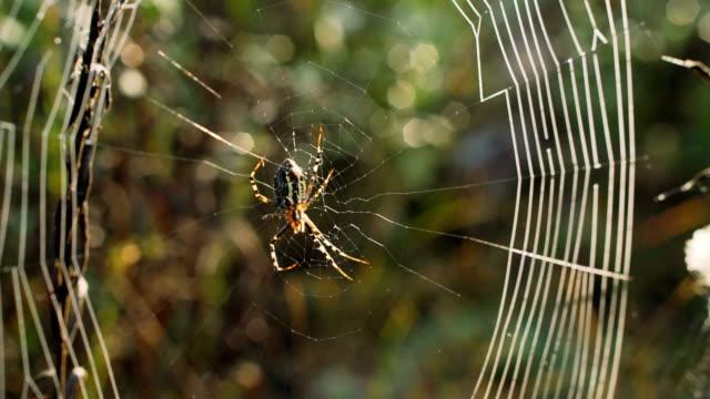 bahçe örümcek (araneus diadematus) bir örümcek ağı. - etçiller stok videoları ve detay görüntü çekimi