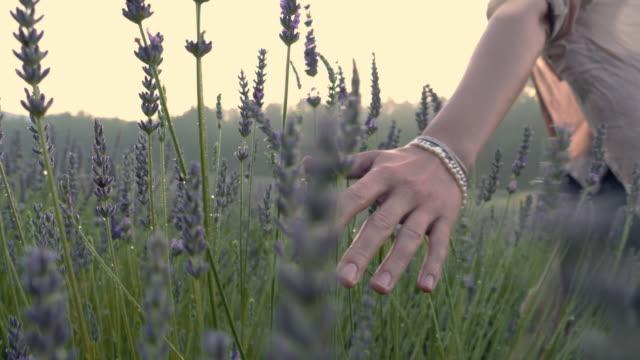 vídeos de stock e filmes b-roll de gardener caring for blooming lavender. soft touch - lavanda planta