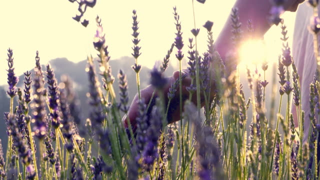 Gardener caring for blooming lavender. Soft touch video