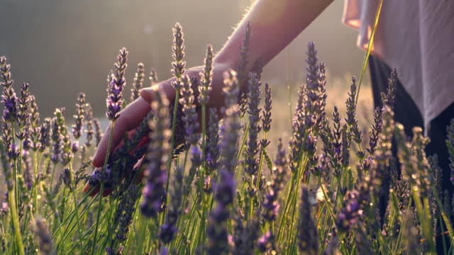 Gardener caring for blooming lavender. Soft touch