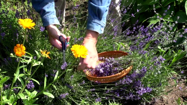 Gardener collecting lavender video