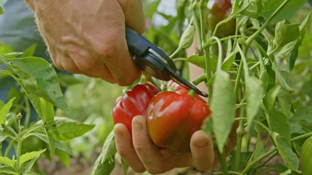 Gardener cutting red peppers from the stalk in the garden