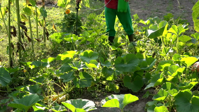 Gardener fertilize zucchini vegetables in farm with sprayer tool. video