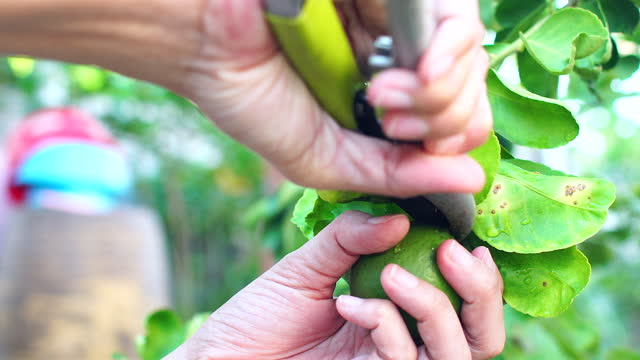 Gardener hand cuts green lemon lime in home garden