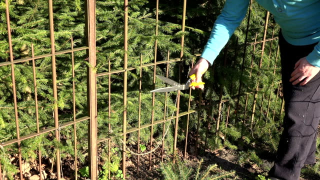 gardener hands cut fir tree hedge with red secateurs. video