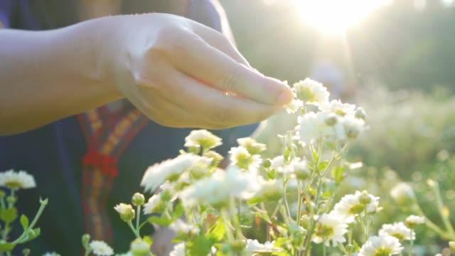 stockvideo's en b-roll-footage met tuinman handen verzamelen oogst chrysant kruid bloem in sunrise - camelia white