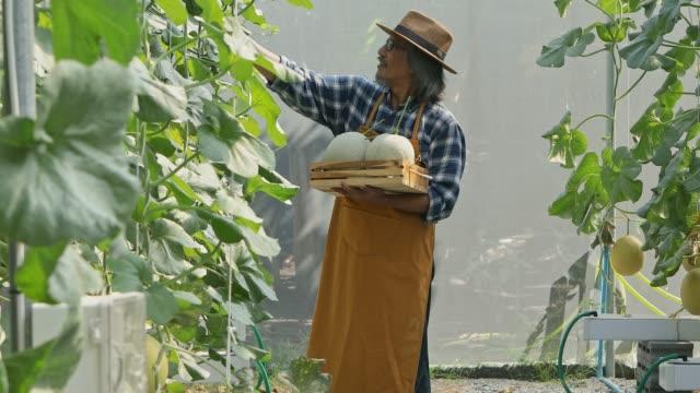 gardener is checking the melon results before harvesting. - attività agricola video stock e b–roll