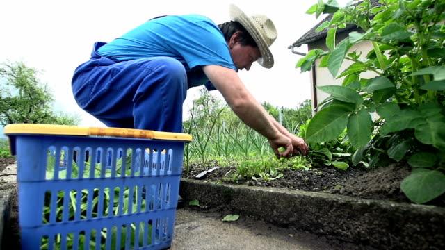 Gardener kneels and picks up some of the vegetables video