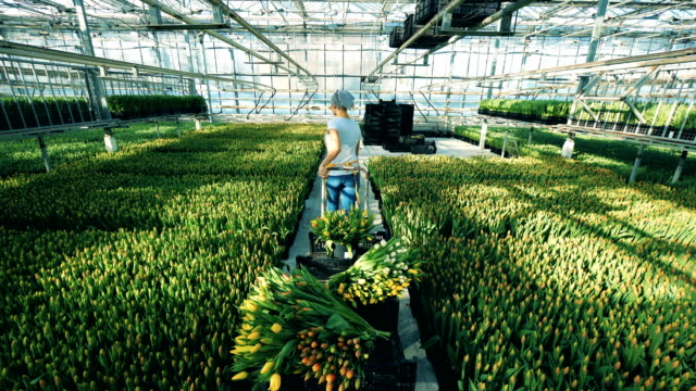 Gardener moves a cart with tulips in a big greenhouse, flower industry.