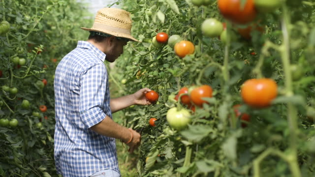 gardener picking up harvesting tomatoes - томат овощ стоковые видео и кадры b-roll
