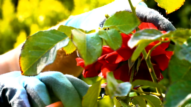 Gardener Pruning Roses with Pruning Shears Senior Man Cutting Roses on Sunny Day. Close Up Shot. branch plant part stock videos & royalty-free footage