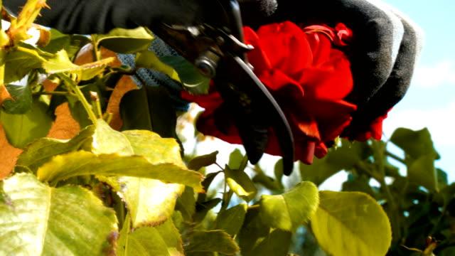 Gardener Pruning Roses with Pruning Shears
