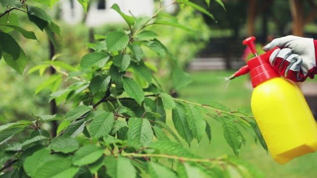vidéos et rushes de jardinier de pulvérisation cerisier contre ravageurs et maladies - herbicide