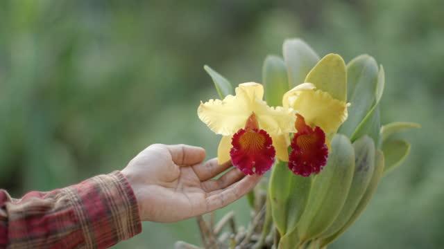 Gardener Touching Cattleya Slow Motion