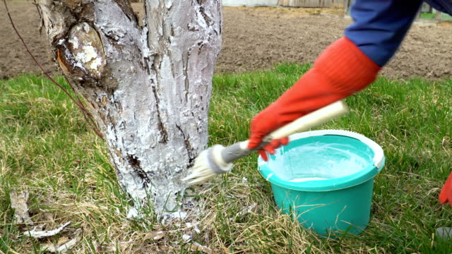 Gardener whitewash tree trunk with lime (material) in garden. video