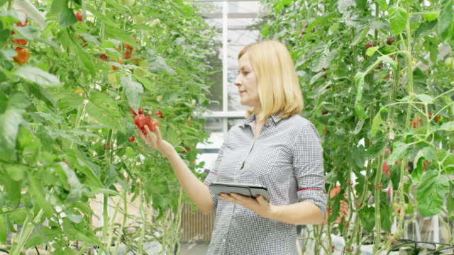 WS Gardener with a tablet doing a quality control in a greenhouse Wide shot of a female horticulture engineer using a digital tablet while checking the quality of tomatoes in a greenhouse. Shoot in 8K resolution. quality control stock videos & royalty-free footage