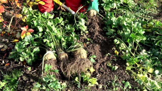 gardener with shovel harvesting celery vegetables - sedano video stock e b–roll