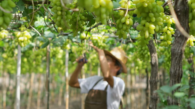 gardener working in grapes garden, the vineyard that has produce for wine production - scanalato video stock e b–roll