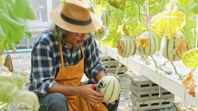 Gardeners melon asian men are select the best melon for export sales to customers within the melon garden, Japan. Gardeners melon asian men are select the best melon for export sales to customers within the melon garden, Japan. cultivated land stock videos & royalty-free footage