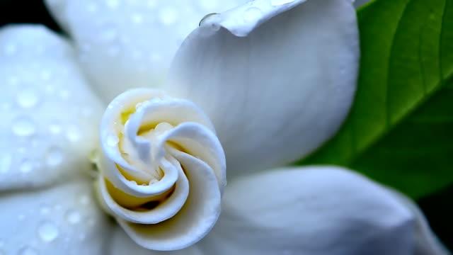 gardenia jasminoides blume - jasmin stock-videos und b-roll-filmmaterial
