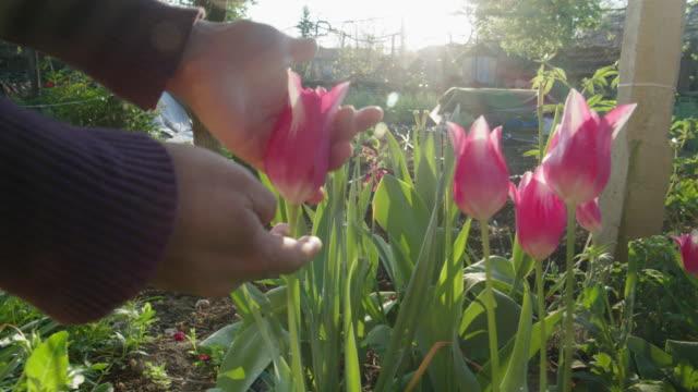 giardinaggio a casa in una luminosa giornata di sole nel giardino formale. giovane donna che lavora nel suo giardino durante l'epidemia di pandemia di covid-19, prendendosi cura dei fiori di tulipano. resta a casa. - giardino pubblico giardino video stock e b–roll
