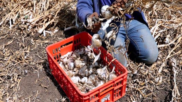 vídeos de stock e filmes b-roll de garlic crop. farmer cutting freshly picked garlic heads in a field. - colher atividade agrícola