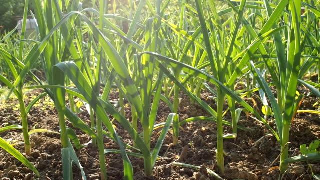 garlic seedbed in the homemade garden in hd - aglio alliacee video stock e b–roll