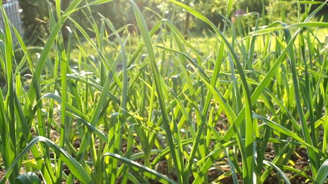 garlic seedbed in the homemade garden in hd - alliacee video stock e b–roll