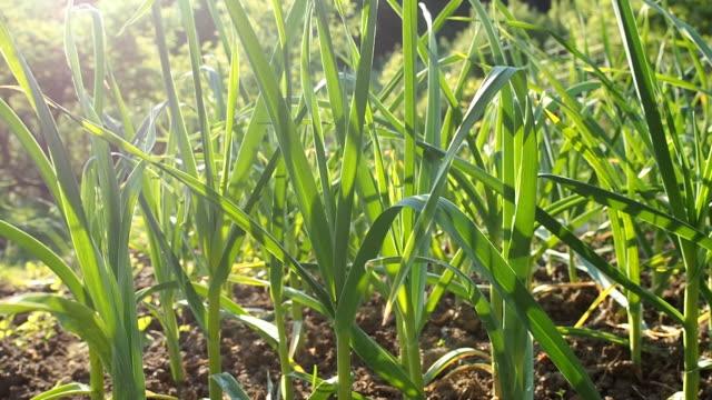 garlic seedbed in the homemade garden in hd - чеснок стоковые видео и кадры b-roll