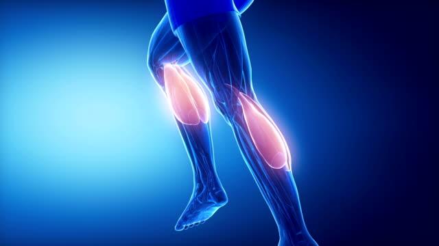 zweiköpfiger wadenmuskel bein muskeln anatomie anaimation - gliedmaßen körperteile stock-videos und b-roll-filmmaterial