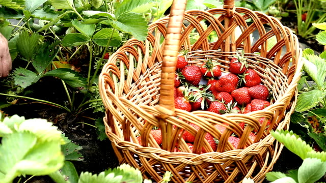 Gathering strawberry crop. Gathering of strawberries manually video