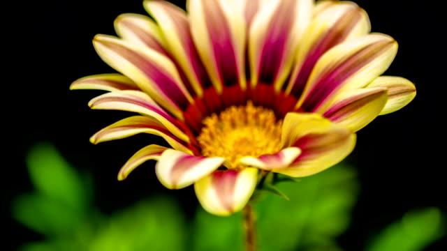 Gazania gerbera flower growing timelapse video