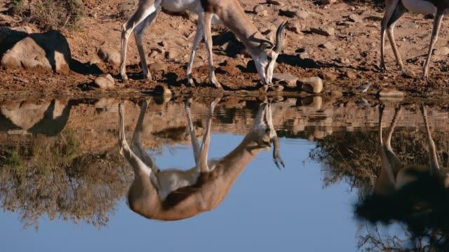 Gazelles drinking water in Africa video
