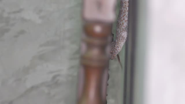 gecko hunt the tree frog