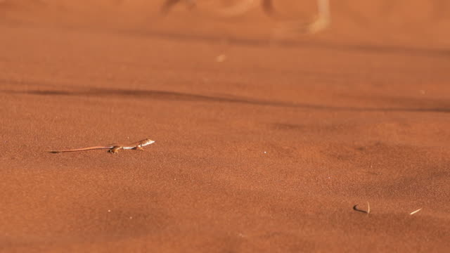 Gecko in the sand Gecko in the namib desert sand running in Slow Motion reptile stock videos & royalty-free footage