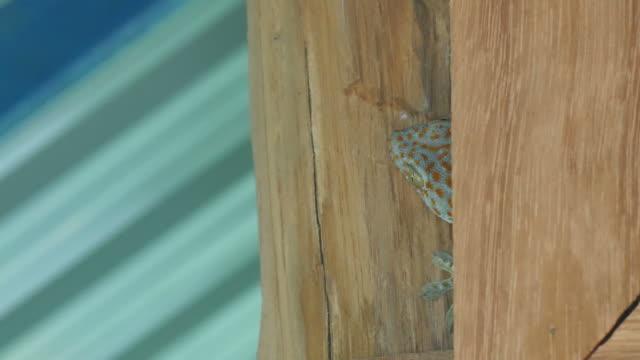 gecko is hiding video