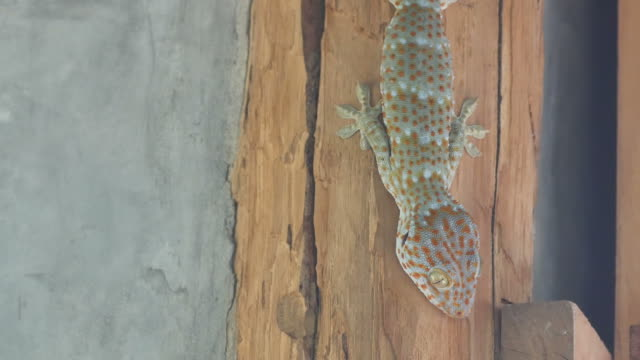 gecko on the wall video