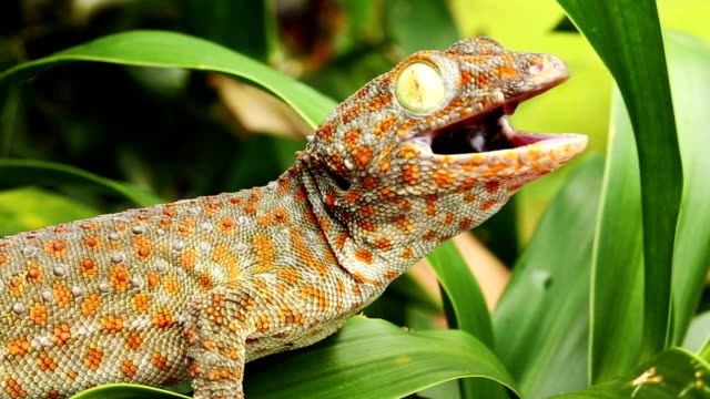 Gecko Gecko, Video of tokay gecko in the nature gecko stock videos & royalty-free footage
