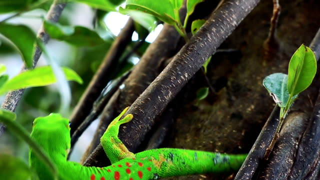 Gecko gold dust day gecko close up gecko stock videos & royalty-free footage