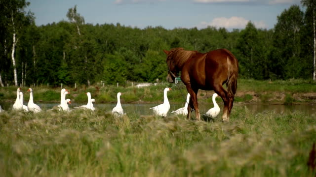Geese and a horse graze in a meadow near the lake. video