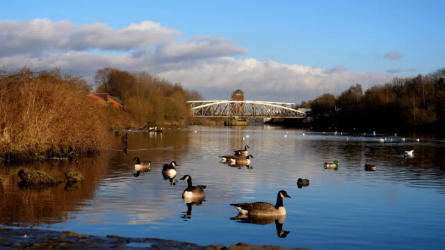geese and barton bridge on river irwell - manchester inghilterra video stock e b–roll