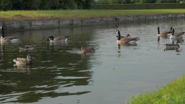 vídeos y material grabado en eventos de stock de geese and ducks in pond - charca