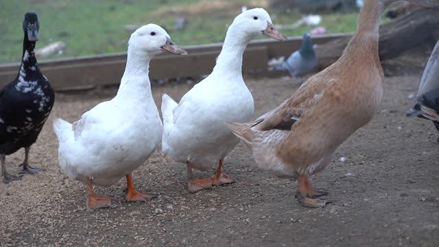 Geese duck on the farm. Mountain farm. Birds Geese graze on pasture