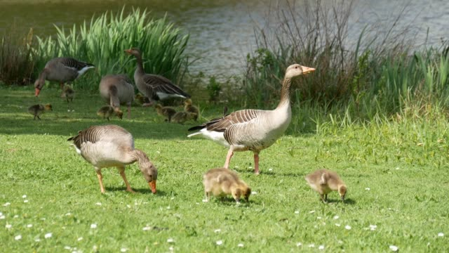 Geese family foraging video