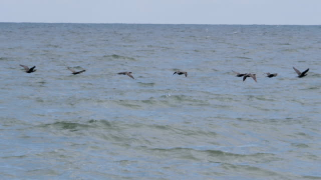 Geese flying in an imperfect formation. Slow motion. Birds Geese flying in formation above water in storm. Migrating Greater birds, flying in windy weather over large waves during hurricane at sea.