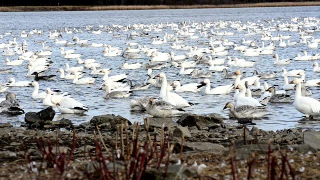Geese Gathering video