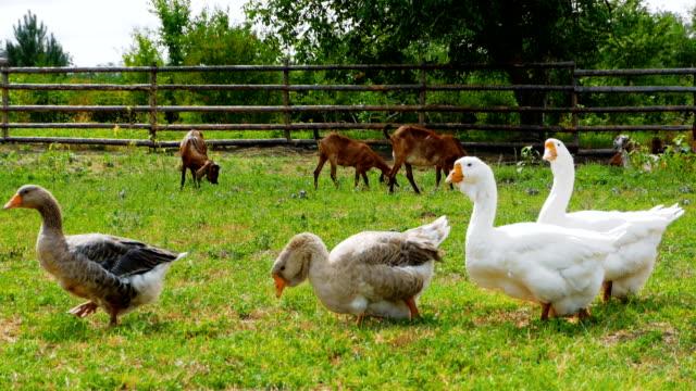 vídeos de stock, filmes e b-roll de gansos ir no prado - animais da fazenda